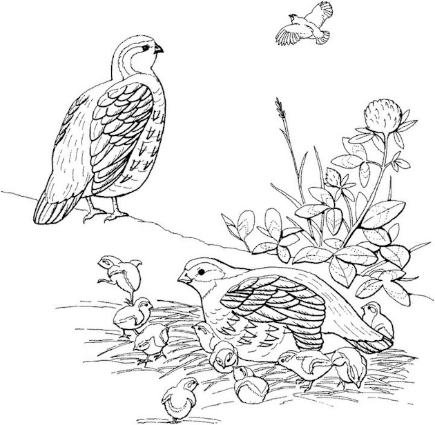 Printable Coloring Pages For Adults Birds : Bird Coloring Page