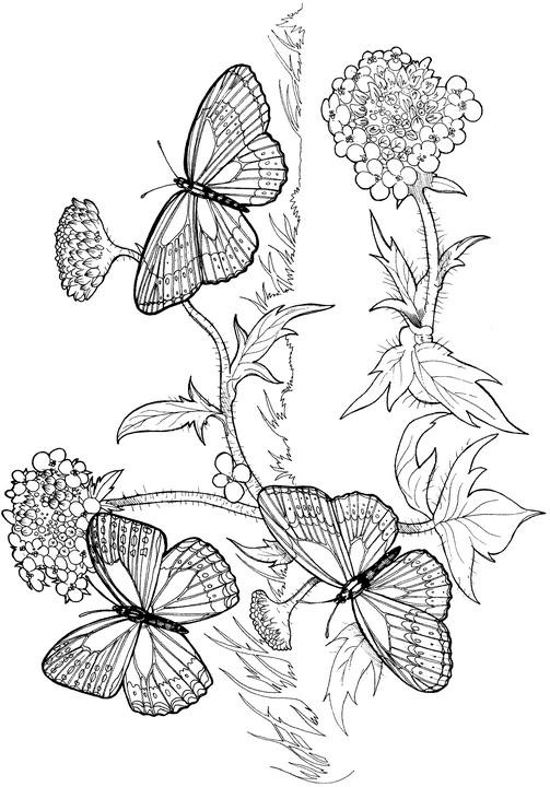 coloring pages detailed butterfly - photo#36