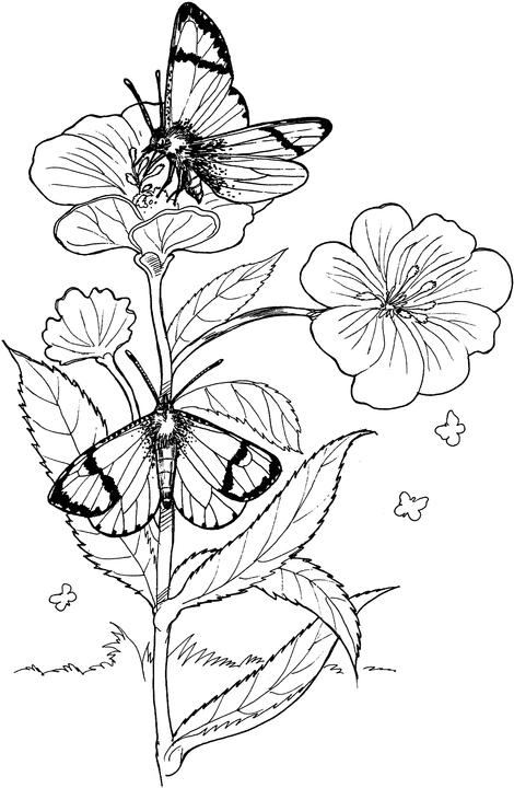 butterfly and flower coloring pages - photo#33